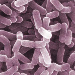 пробиотические бактерии под микроскопом