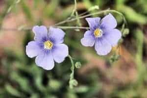 льняные цветы
