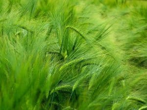 Уши из зеленого ячменя