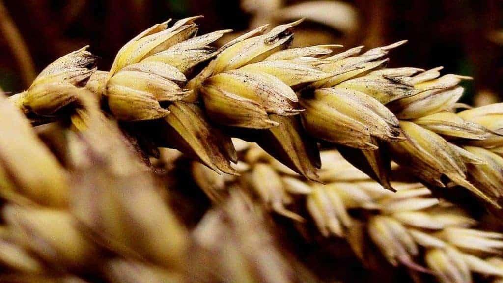 зерновые уши