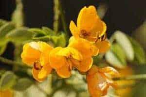 цветы сенеско