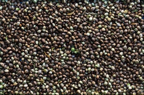 конопляное семя