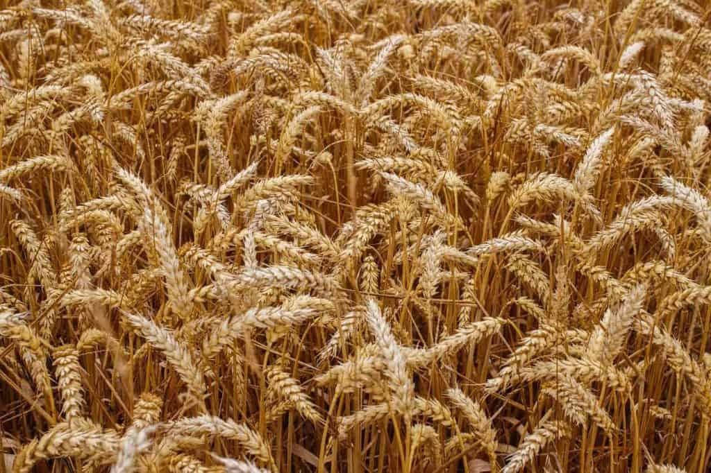 выращивание зерновых в полевых условиях