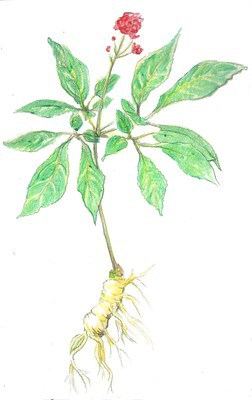 Собственно женьшень (Panax ginseng)