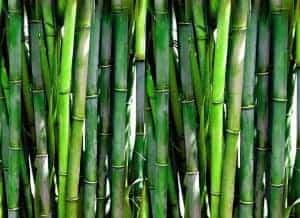 тайский бамбук