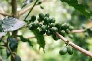 Фрукты зеленого кофе на ветке