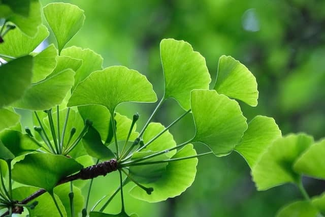 листья Ginkgo biloba