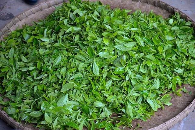 зеленый чай - свежие листья